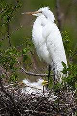 Great egret (gtb2003) Tags: sc birds chicks rookery nesting egrets anhinga greategrets snowyegrets portroyal
