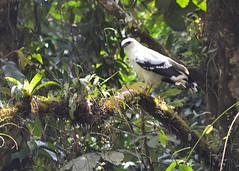 BIJAGUA, COSTA RICA - NP Volcan Tenorio/ , - - ..   (Miami Love 1) Tags: bird latinamerica nationalpark costarica hawk latinoamerica pajaro centralamerica tenorio latinamerican parquenacional latinoamericano centroamerica  centralamerican centroamericano costarican  bijagua       costarricence