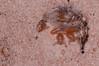 DSC_1790.jpg (hankplank) Tags: arachnid caribbean statia netherlandsantilles pseudoscorpion windwardislands leewardislands lesserantilles sinteustatius thequill pseudoscorpionida paratemnoides markyokoyama pachyolpiumconfusum