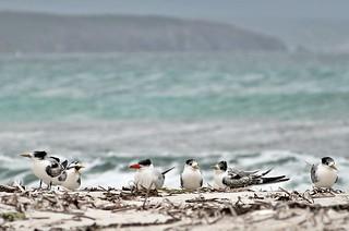 Fitzgerald River National Park - Point Ann Beach - Terns