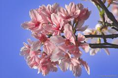 DSC_8500-4 (Frankie Tseng ()) Tags: park pink flowers sunset sky bw flower silhouette photography 50mm blackwhite nikon outdoor flash sunny tokina cherryblossoms fade nikkor 70300mm tamron 90mm f8 1224mm f28 f4 1870mm bwphotography blackwhitephotography portraitphotography outdoorportrait sb900 yongnuo outdoorportraitphotography yn568