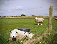 (121/366) Schapen (148/365) (MJ Klaver) Tags: nature sheep photoaday ameland waddeneilanden project365 project366 lx100 day121366 panasoniclumixdmclx100 366the2016edition 3662016 30apr16