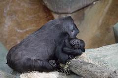 brookfield zoo. december 2015 (timp37) Tags: world baby zoo illinois december gorilla brookfield tropic 2015