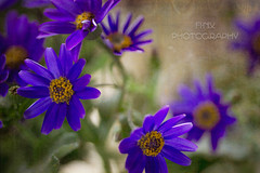 Pretty Purple Flowers from a friend (Fi-Nix Photography) Tags: flowers floral canon spring artistic blossoms backlighting closer purpleflowers finixphotography