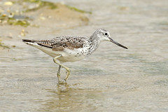 Common Greenshank - Tringa nebularia (Roger Wasley) Tags: portugal birds faro europe european algarve riaformosa commongreenshank naturalpark greenshank tringanebular