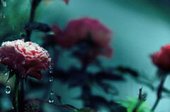 roses (takeonebreath) Tags: pink roses plants flower color green nature water colors rose vintage drops spring pinkflower waterdrops