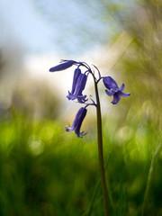 Bluebell (i-r-paulus) Tags: bluebells vintage riverside wildflowers bluebell vintagelens carenar legacylens carenarlens supercarenar