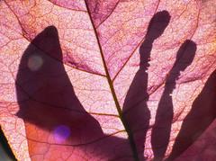 Shadow in pink (LSydney) Tags: pink shadow macro bougainvillea sepal