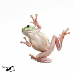 White's Tree Frog (Marius Sund) Tags: tree animals frosk amphibian frog frogs whites animalia dyr caerulea litoria amfibie frosker amfibier whitestrefrosk