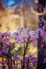 Robert Emmerich - 105 The cherry blossom No. 4 in Berlin - Germany (Robert Emmerich Photography) Tags: berlin robert photoshop canon germany cherry eos spring focus blossom re stacking dslr frühling 2015 emmerich 40d stuckinberlin frã¼hling onedayonepicture onedayoneartwork robertemmerich