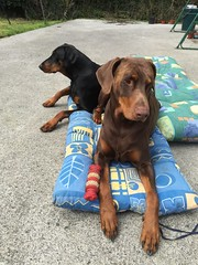 Red, Male Dobermann Pinscher Zeus with Black and Tan, Female Dobermann Pinscher Gabbana (firehouse.ie) Tags: red dog brown black male female tan zeus german doberman dobie pinscher dobe gabbana dobermann dobermans pinschers dobermanns
