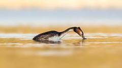 Great Crested Grebe (Distinctly Average) Tags: bird water canon dive diving reservoir handheld tring hertfordshire herts greatcrestedgrebe 100400 marsworth distinctlyaverage phillluckhurst 7dmark2 wwwdistinctlyaveragecouk