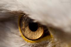 Adlerauge - Weisskopfseeadler (AchimSchmidt) Tags: baldeagle auge weisskopfseeadler seeadler