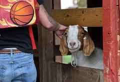 A Scratch Behind the Ear (MTSOfan) Tags: pet smile barn goat scratch epz