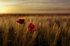 Distincin (L.Barrera) Tags: poppy poppies coquelicot amapolas coquelicots distincin leobarrera