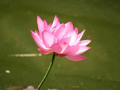 pink light (oneroadlucky) Tags: pink plant flower nature lotus