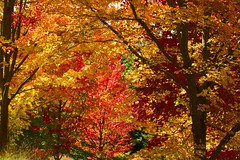 This one's for Saffron - so sad to see you leave (dmunro100) Tags: autumn fall canon eos colours seasons south australia kaleidoscope hills adelaide blaze botanics saffron mountlofty 60d canonef70300mmf456lisusm saffronblaze