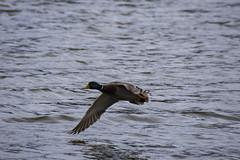 12 April 2016 (runningman1958) Tags: water duck nikon wing 365 avian mallardduck rideauriver 365dayproject d7200 nikond7200