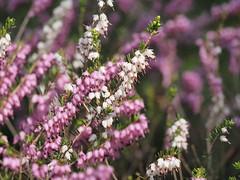 mozirski-gaj_36 (carlo) Tags: flowers olympus slovenia slovenija fiore botanicalgarden omd em1 ortobotanico giardinobotanico mozirje mozirskigaj