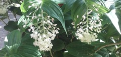 Maianthemum gigas (sftrajan) Tags: california flower macro primavera berkeley botanicgarden botanicalgarden jardinbotanico springtime jardinbotanique botanischergarten botaniskhave asparagaceae ogrdbotaniczny botanisktrdgrd universityofcaliforniabotanicgarden maianthemumgigas