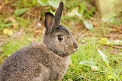Sherman (Tjflex2) Tags: boy pets canada cute rabbit bunny bunnies nature girl vancouver mammal furry pretty bc friendship fuzzy conejo small adorable cuddly coelho playful lapin usagi krolik kanin lagomorph toki lepus fenek iepure muyal kelinci ilconiglio coinin sungura leporidea