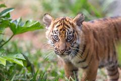 Debbie, 3-month old Sumatran Tiger (Panthera tigris sumatrae) - Tiger Trail - San Diego Zoo Safari Park (Jim Frazee) Tags: sumatrantiger tigertrail pantheratigrissumatrae sandiegozoosafaripark