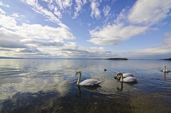 Cigni sul trasimeno (s.galli79) Tags: sky lake clouds lago trasimeno cigni
