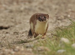 No2  Stoat  slowing down as he gets closer to me (GrahamParryWildlife) Tags: new uk sunlight bird field animal sport photo kent flickr outdoor small hunting sigma running shy run add tiny 7d mk2 dungeness predator viewing depth hunt carnivore stoat mamal rspb mustela 150600 grahamparrywildlife