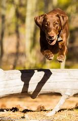 A Wild One (KB RRR) Tags: dog colorado rockymountains frontrange chocolatelabrador shyla