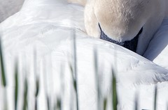 ND6_1567 (charlesvanlangeveld) Tags: swan swans zwaan whiteswan zwanen whiteswans