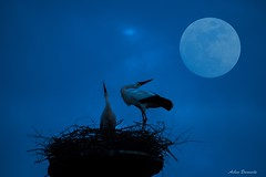 Moon salutation... (no... its just a warm welcome ;-) (acbrennecke) Tags: blue sky moon night nikon nest moonlight welcome storks salutation nikon5500 achimbrennecke