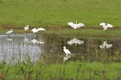 La pozza delle Garzette (luporosso) Tags: naturaleza white bird nature water birds nikon natura uccelli acqua bianco uccello birdwatcher acquatic egrettagarzetta naturalmente garzetta nikond300s