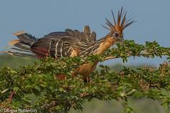 Hoatzin Mum - Amazon basin (Donna Hampshire) Tags: ecuador hoatzin amazonbasin tropicalbird opisthocomushoazin ecuadorbirds colourfulbirds southamericanbirds stinkbird napowildlifecentre tropicalswamps canjepheasant donnarobinson donnahampshire