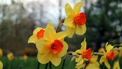 Bad Pyrmont (DeeDee Pix) Tags: orange plant flower yellow canon blossoms gelb stadt pollen blooms m3 blume palmengarten palme narcissus blten jonquil narzisse kurort kur niedersachsen 2016 kurpark deedeepix badpyrmont staatsbad