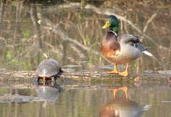 BFF's (Alemap.1) Tags: portrait lake duck friend turtle mallard
