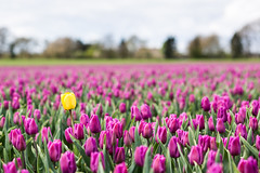 Tulips in Holland (Lars Oosterveen Photography) Tags: holland tulips nederland tulip tulipa tulpen tulp liliaceae dutchtulips liliales