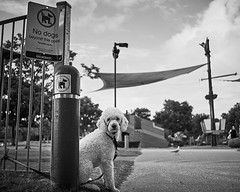 And the bird gets in for free... (Dean Vuksanovic) Tags: dog dogs 35mm lens gold coast none no poodle qld queensland minox f28 currumbin goldcoast minotar sonya7