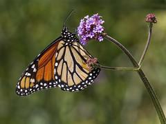 Monarch, female (Danaus plexippus) (AllHarts) Tags: ngc npc memphistn dixongardens butterflygallery naturesspirit naturescarousel femalemonarchdanausplexippus thesunshinegroup challengeclubchampions