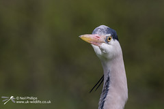 Grey Heron-6 (Neil Phillips) Tags: bird heron grey aves ardea longneck ardeacinerea longlegs ardeidae greyheron pelecaniformes cinerea neoaves