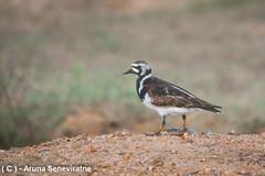 Rudy Turnstone (ArunaSene) Tags: birds srilanka avian arenariainterpres scolopacidae rudyturnstone arunaseneviratne arunasene