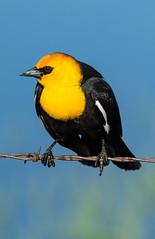 Male Yellow-headed Blackbird (Xanthocephalus xanthocephalus) - Princeton, Oregon (bcbirdergirl) Tags: usa male oregon princeton malheur birdonawire yellowheadedblackbird xanthocephalusxanthocephalus
