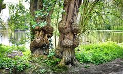 Leidse Hout (Emil de Jong - Kijklens) Tags: trees lake tree green leiden bomen meer groen leidsehout boom explore waterlelie
