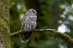 Barred Owl (OwlPurist) Tags: oregon portland barredowlstrixvaria