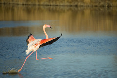 France - Flamingo Landing 04/25/16 Explored (Benjamin PREYRE Photography) Tags: voyage pink france bird nature water rose nikon eau flamingo nikkor 70300mm oiseau flamandrose camargue d600 preyre benjaminpreyre