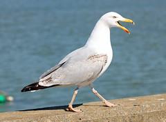 Strutting Its' Stuff! (RiverCrouchWalker) Tags: bird spring gull april essex harwich 2016 harbourwall struttingitsstuff
