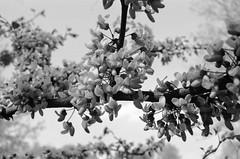 Flowing Flowers (GPhace) Tags: newyorkcity blackandwhite bw slr film nature brooklyn 35mm spring minolta prospectpark ilford naturephotography x700 delta400 dp400 manuelcamera bwfp