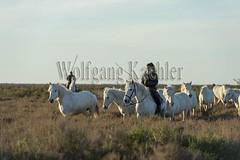 40080665 (wolfgangkaehler) Tags: horses horse france water cowboys french cowboy europe european riding swamp wetlands marsh cowgirl marshland guardian wetland camargue southernfrance guardians marshlands 2016 herding swampland ridinghorse camarguehorses camarguecowboy