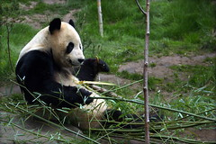 Giant Panda - Yang Guang (Janice Watson Photography) Tags: nature animal zoo edinburgh panda wildlife giantpanda captivity edinburghzoo yangguang