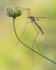 Tipula (Ramn Menndez Covelo) Tags: macro nature closeup bug insect daddy fly crane small olympus zuiko bicho longlegs tipula tipulidae