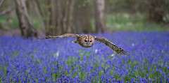 Florence flying over a carpet of bluebells (susie2778) Tags: nikon owl bwc tawnyowl strixaluco sigma105macro britishwildlifecentre d7100